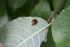 Possibly a harlequin ladybird?